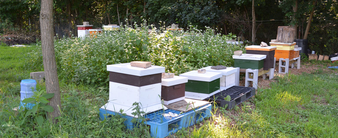 Beehives at the Cook Organic Garden.